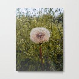 Dandelion spring flower Metal Print