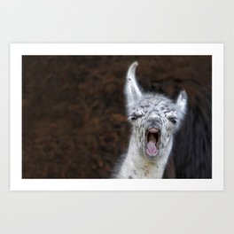 Young Lama with a big mouth | Junges Lama mit grosser Klappe Art Print