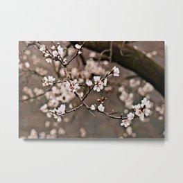 Austrian Spring: Apricot Blossoms Metal Print