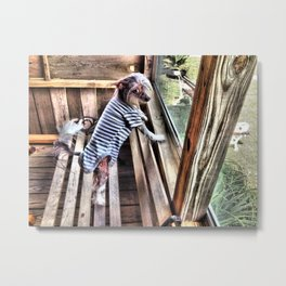 Chinese crested dog on Porch. Metal Print