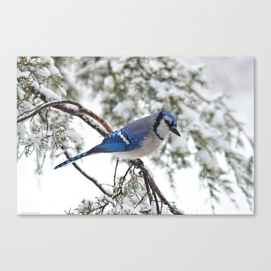 Beautiful Blue Jay Canvas Print