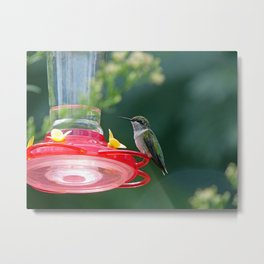 Perched Hummingbird Metal Print