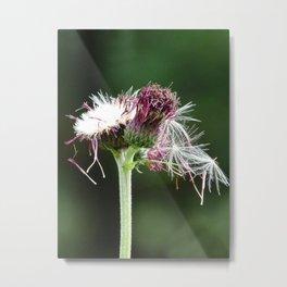 Thistle Seedhead Metal Print