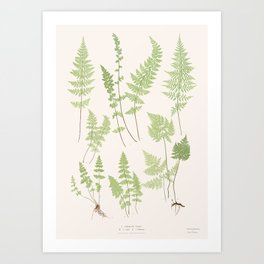 Ferns #1 Art Print