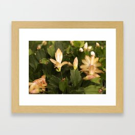 Christmas Cactus Buds and Blooms Framed Art Print