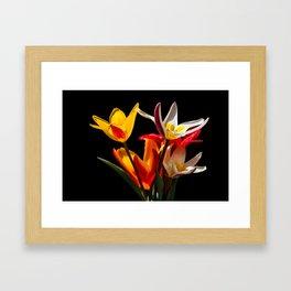 Tulip flowers against black background Framed Art Print