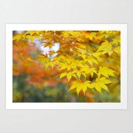 Japanese maple in yellow and orange Art Print