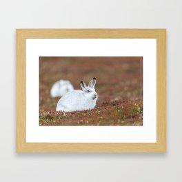 Mountain hare Framed Art Print