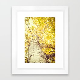 Birch Trees in the Fall  Framed Art Print