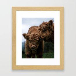 Scottish Highland Cattle Calves - Babies playing Framed Art Print