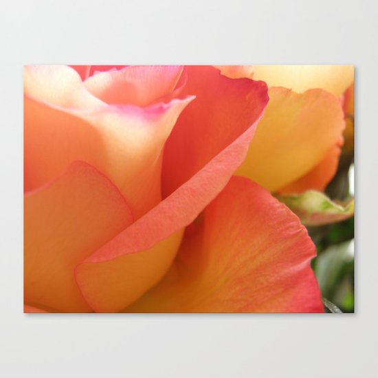 Two-Tone Roses #6 Canvas Print