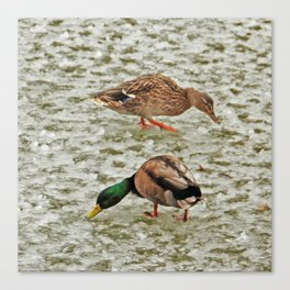 """Where's the pond?"" - Frozen pond confuses the ducks Canvas Print"