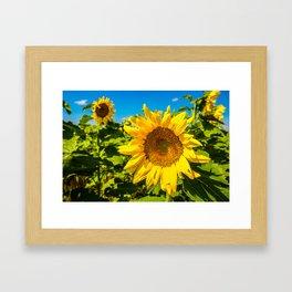 Here Comes the Sun - Giant Sunflower on Sunny Day in Kansas Framed Art Print