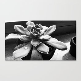 Succulent in Sun Canvas Print