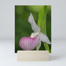 Elegant Pink Lady's Slipper Mini Art Print