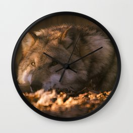 A wolf lying in the evening sun Wall Clock