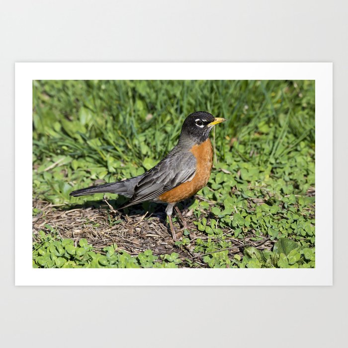 American Robin in the Grass - Photography Art Print