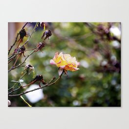 Beauty in the Thorn Canvas Print