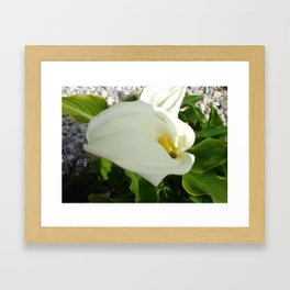 A Large Single White Calla Lily Flower Framed Art Print