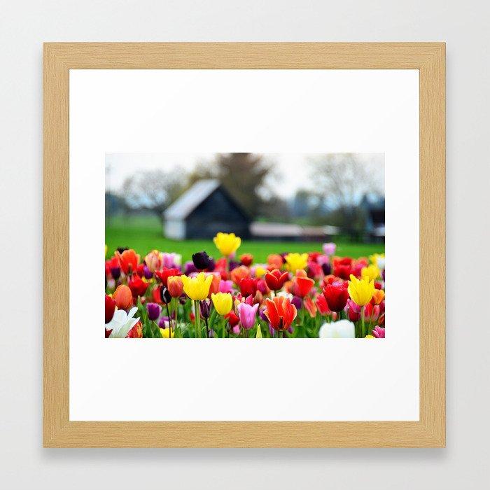 Barn and Tulips, Woodburn Tulip Festival Framed Art Print