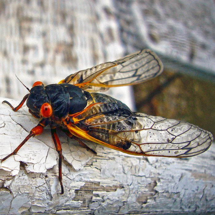 Red Eyed Cicada Comforters