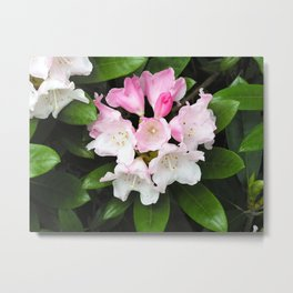 Pink Rhododendron in Spring Metal Print