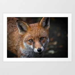 Wild Red Fox Looking At You Art Print