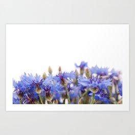 Bunch of blue cornflower flowerheads Art Print
