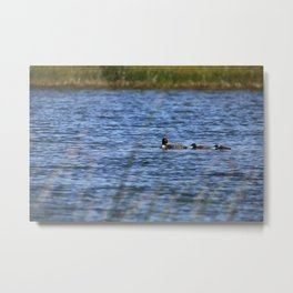 Loon with babes in tow Metal Print