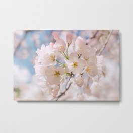 White Spring Cherry Trees Blossom Metal Print