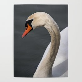 Mute Swan in Winter Poster