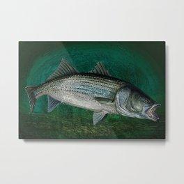 Striped Bass Fishing Art Prints Metal Print