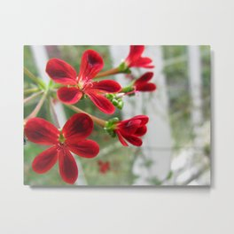 Red Pelargonium Metal Print