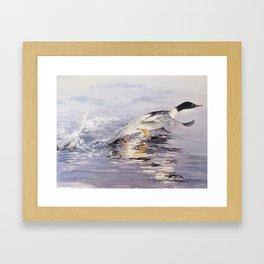 Goosander on the River Kent Framed Art Print