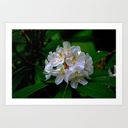 Rhododendron Bloom at Falling Water Art Print