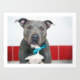 Handsome Blue Pitbull Art Print