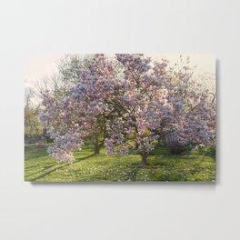 Magnolia tree in spring Metal Print