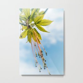 Maple boxelder tree catkin blossom pollen on branch in spring Metal Print