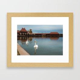 White swans swimming at Lake Palic / Subotica / Serbia Framed Art Print