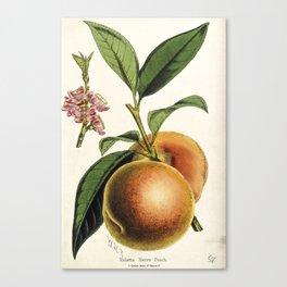 A peach plant - vintage illustration Canvas Print