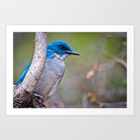 mexican Art Prints featuring Mexican Jay by Jacqueline Ferrato