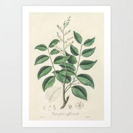 Diesel tree (Copaifera officinalis) illustration from Medical Botany (1836) by John Stephenson and J Art Print
