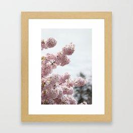 Cherry Blossoms 1 Framed Art Print