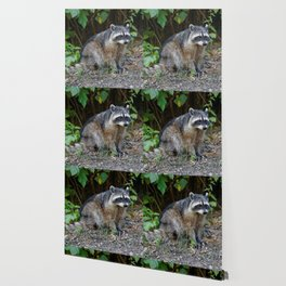 Diurnal Raccoon Poses on the Gravel Wallpaper