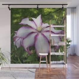 Clematis - Stunning two-tone flowers Wall Mural