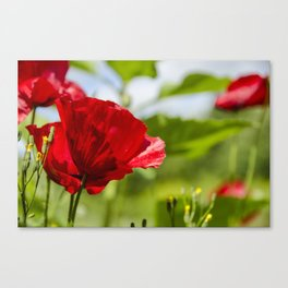 Red Poppies in the wind Canvas Print
