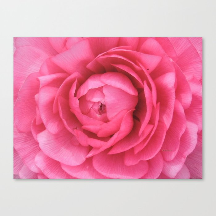 Petals in the Pink Canvas Print