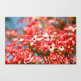 PINK DOGWOOD TREE FLOWERS - SPRING IS HERE Canvas Print