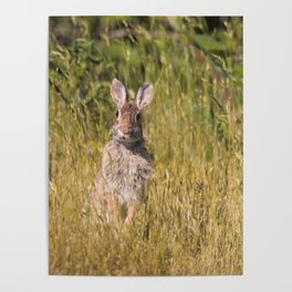 Cute and Curious Eastern Cottontail Rabbit in the Long Grass Poster