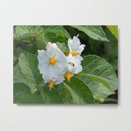 Potato Plant Flowers Metal Print